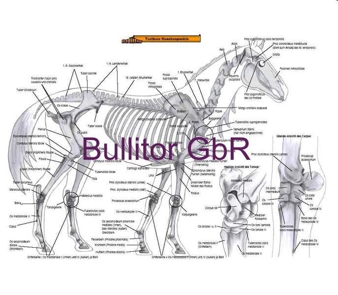 Equine Anatomy - Bones & Muscles - German