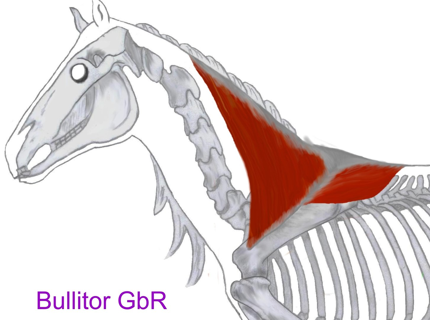 Equine Muscles - for Physiotherapists - German